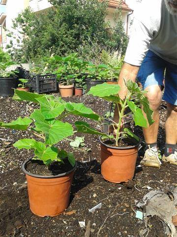 Small paulownia seedling