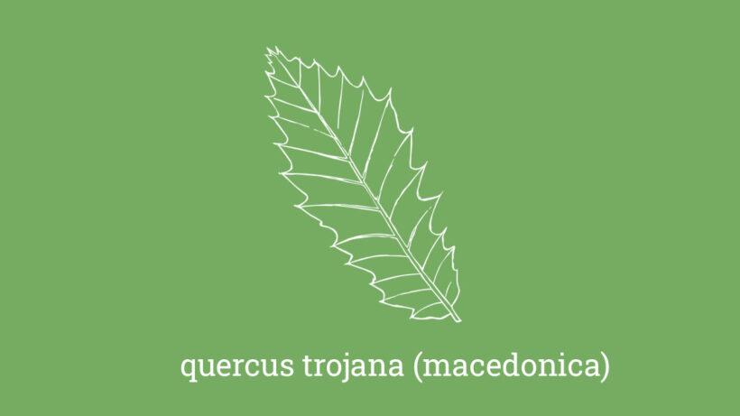 Macedonian oak – quercus macedonica (trojana)