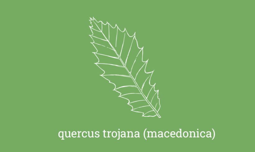 Macedonian oak – quercus macedonica (trojana)